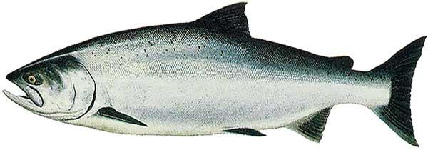 saumon sauvage du pacifique