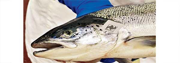 saumon-bio-irelande