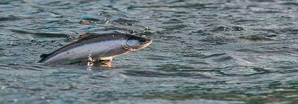 saumon-islande