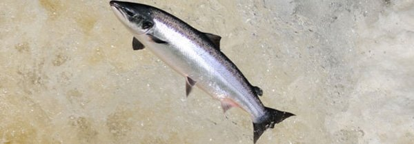 saumon-sauvage-ecosse